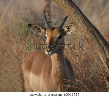 Young Impala Buck in Kruger Park,South Africa #60011719