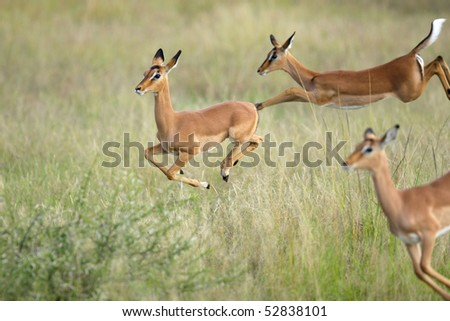 Young impala lambs jumping with one in focus and two out of focus - stock photo