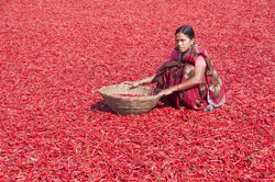Young Indian woman working on Red Chili pepper