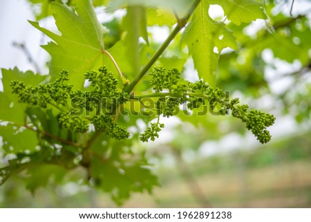 Young inflorescence of grapes on the vine close-up. Grape vine with green leaves and buds blooming on a grape vine in the vineyard. Spring buds sprouting. Selective focus.   Foto stock ©