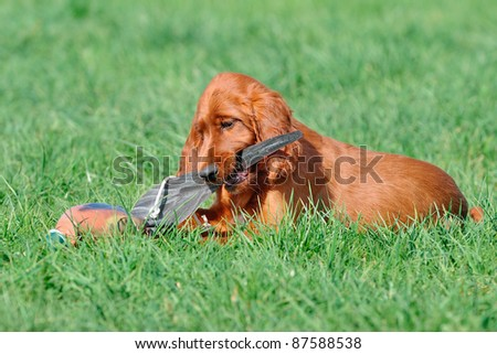 Irish Setter Puppies on Young Irish Setter Dog Puppy 4 Months Stock Photo 87588538