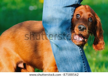 young Irish Setter Dog Puppy 4 months dog dancing
