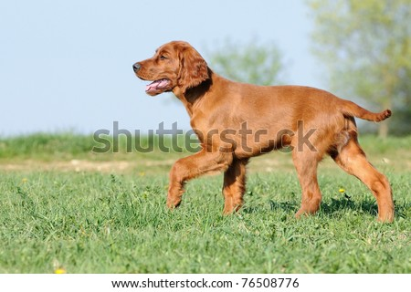 young Irish Setter Dog Puppy 4 months  in the meadow - stock photo
