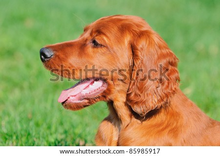 young Irish Setter Dog Puppy 4 months in the meadow