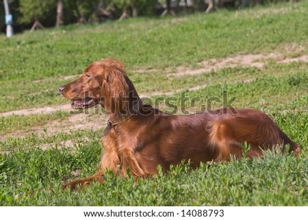 young irish setter on green field