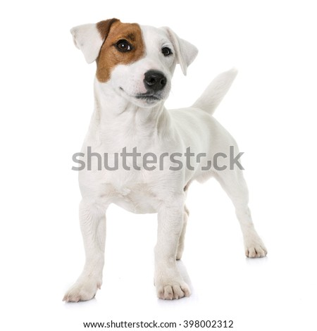 young jack russel terrier in front of white background Foto stock ©