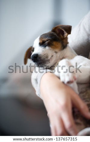 young Jack Russell dog sleeping Terier the hand, arm, her master's lap, lying, sleeping, resting