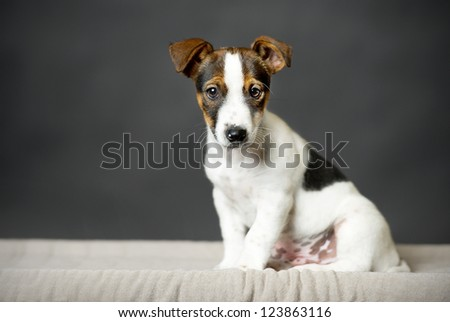 young Jack Russell Terrier dog black background