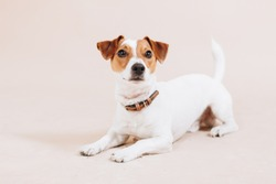 Young jack russell terrier dog lies down on the floor and looks up isolated on beige background. Dog training. Studio portrait.