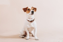 Young jack russell terrier dog sits down on the floor and looks up. Isolated on beige backround. Studio portrait.