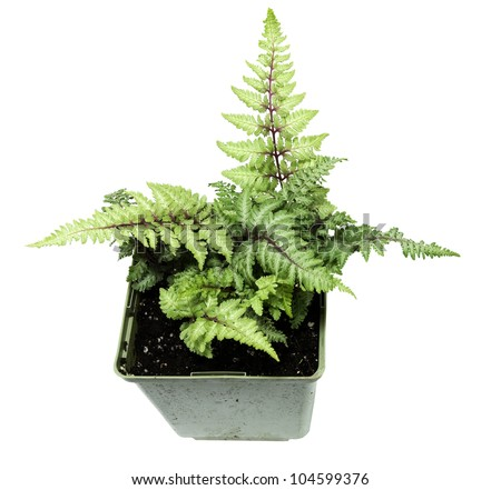 young japanese painted fern, in a pot on a white background