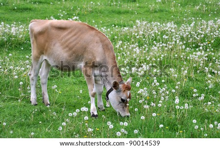 Young Jersey cow in a field with dandelions