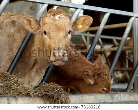 Young Jersey cow in cowshed eating hay from trough in stall