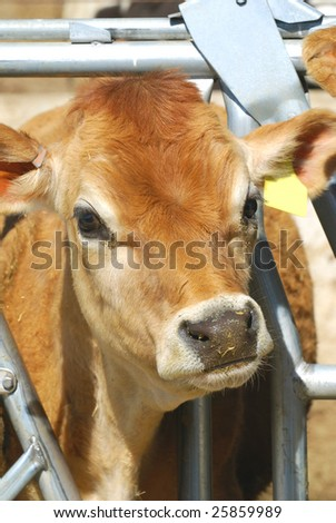 Young Jersey dairy calf with head through stanchion to eat. - stock photo