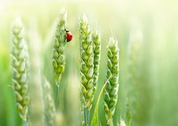 Young juicy fresh green wheat ears spikes and a ladybug on nature close-up macro. Beautiful texture of young wheat spikelets