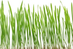 Young juicy green sprouts of the wheat