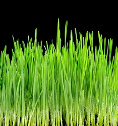 Young juicy green sprouts of the wheat on black background