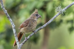 Young Juvenile Female Cardinal in Mid Summer in Louisiana