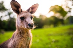 Young Kangaroo on east coast of Australia. Close up of head and face. Photographed in the wild