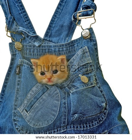 young kitten staring from a pocket