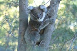 Young koala joey climbing a tree in the shade of late afternoon sunlight on Raymond Island in Australia