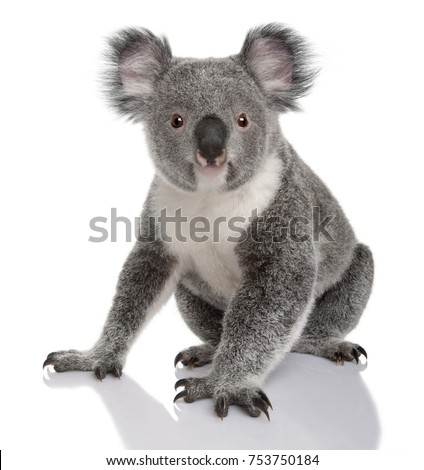 Young koala, Phascolarctos cinereus, 14 months old, sitting in front of white background #753750184