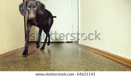 Young Kurzhaar dog running indoors. Natural light and colors