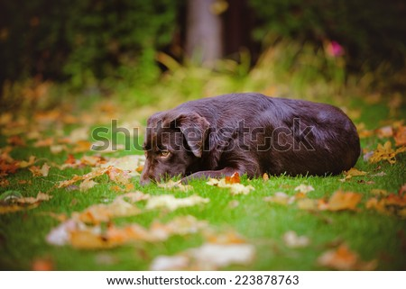 young labrador retriever dog lying down outdoors