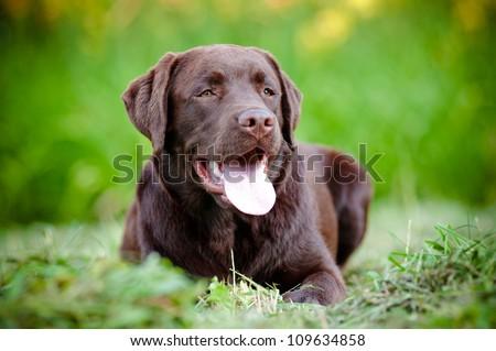young labrador retriever puppy smiling