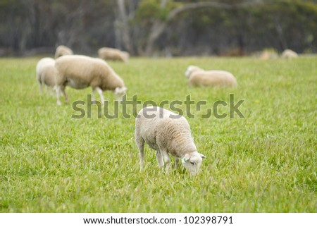 Young lamb grazing with the rest of it's flock in a grassy field in rural Australia.
