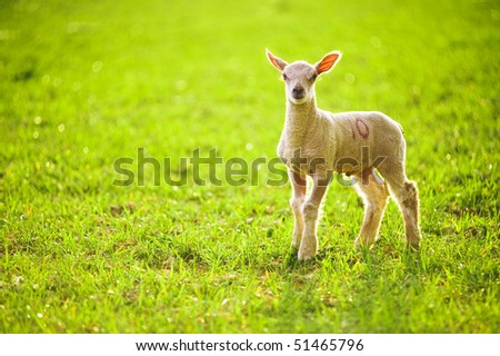 Young Lamb In Sunlight