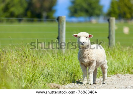 Young lamb on the road after escaping the fences