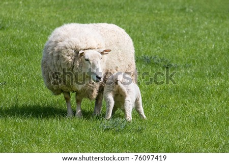 young lamb suckling from mother in a green field
