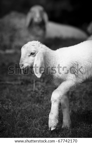 Young lamb under control of his mother