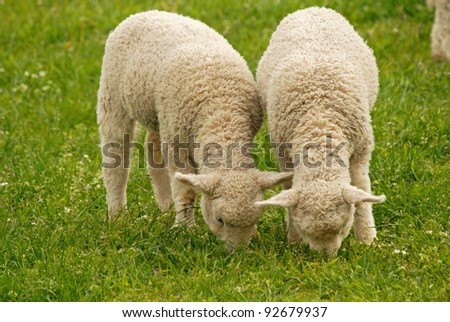 young lambs feeding on green grass