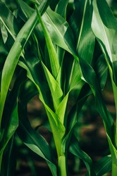Young, large stem and leaves of corn. Film color