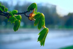 Young leaves and branches of a chestnut tree in the spring. Selective focus. New leaves and buds of a horse chestnut tree, Aesculus hippocastanum, or conker tree. A branch with bright green  sprouts