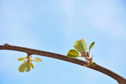 Young leaves of kiwi fruit plant growing in the garden on a spring day and blue sky in the background