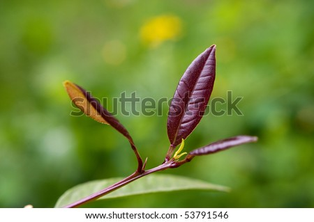 young leaves of lemon - stock photo