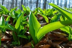 Young leaves of Ramsons (Allium ursinum).
