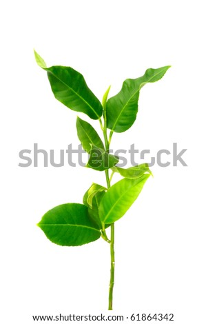 Young Lemon Tree