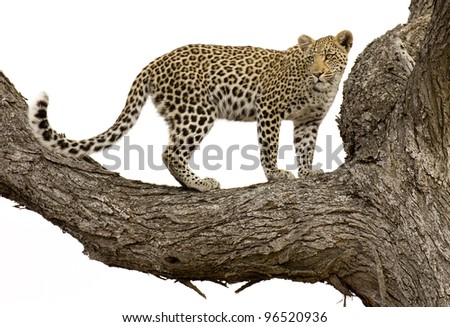 Young Leopard (Panthera pardus), in a tree, Kruger Park, South Africa