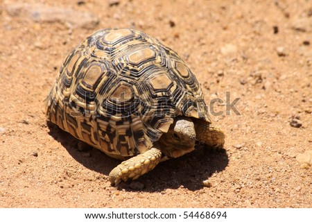 Young leopard tortoise in the open, South Africa