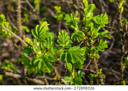 Young light green leaves of a budding Rosa Rugosa shrub at the beginning of the spring season.