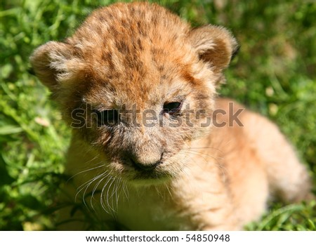 Young lion against a grass