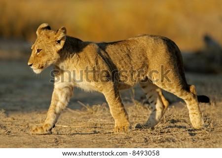 Young lion cub (Panthera leo), Kalahari desert, South Africa
