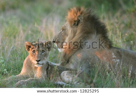 Young lion cub (Panthera leo) lying down by the big male African lion in late sunlight. Kruger park, South Africa