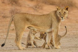 Young lion cubs cutely playing with each other with their mother lioness to watch out for danger, Kalahari Desert, Africa