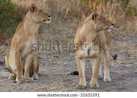 Young lion cubs resting in the early morning light after a night of hunting in the African bush