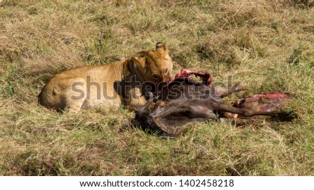 young lion eating wildebeest in Maasai Mara, Kenya #1402458218